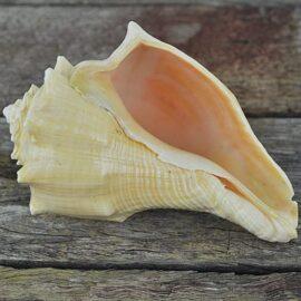 Heavy cream apricot conch shell