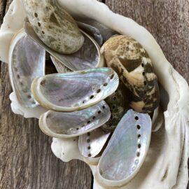 Abalone Haliotis Asinina natural