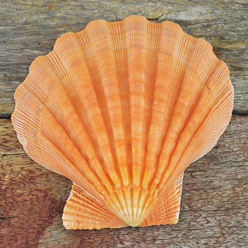Orange Lionpaw Scallop (Pecten Nodosa)