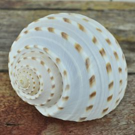 cream Ton shell with tan spots