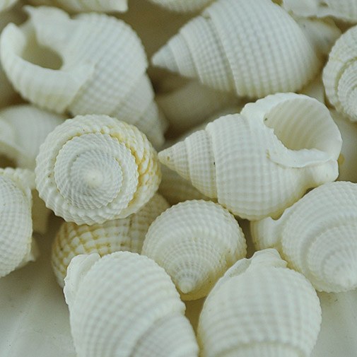 Small white whelks