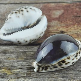 Cypraea tigris purple top