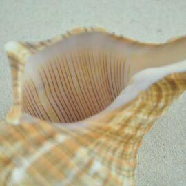 Trapezium conch