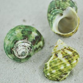Turbo Brunneus shells
