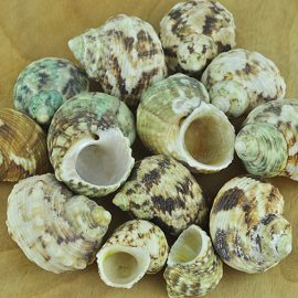 Turbo Chrysostomus shells