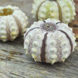 Sea Urchin shell Sputnik pink