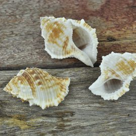 Bursa Rana natural shell