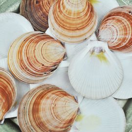 Queensland large brown scallop