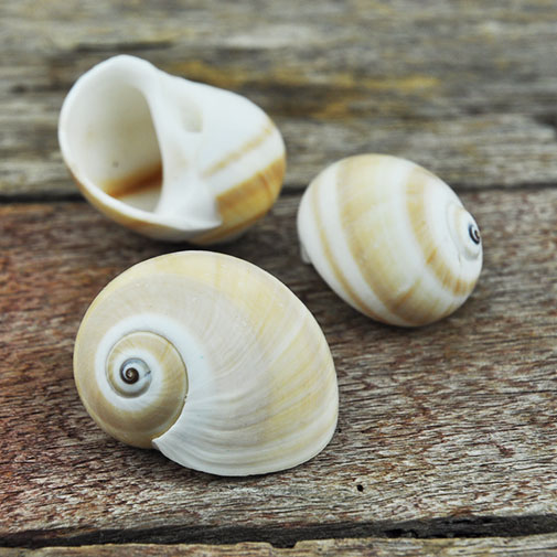 Moon snails beige and white