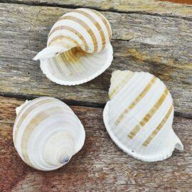 Tonna Sulcosa shell