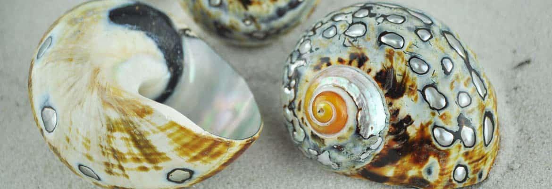 Turbo Sarmaticus shells
