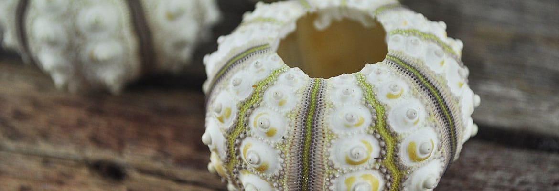 Sea Urchin Sputinik pink
