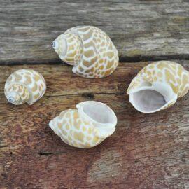 Babylonia Shells