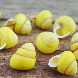 Land snail yellow round small