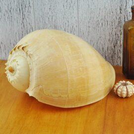 Melo Diadema Baler shell