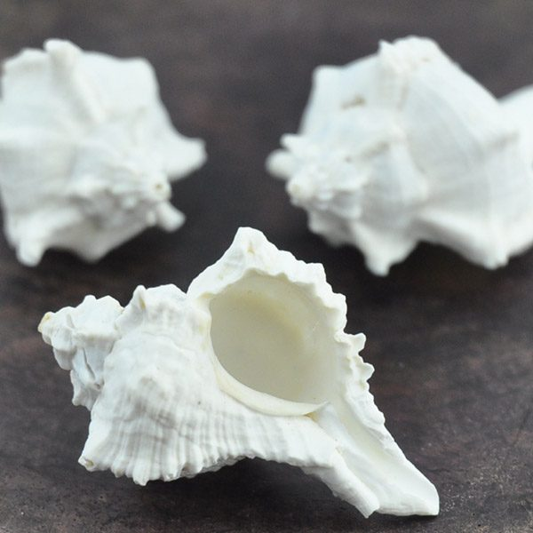 Murex Virgineus white small bulk shells