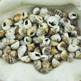Nassarius Pullus whelk shells