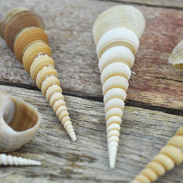 Turritella Terebra shell