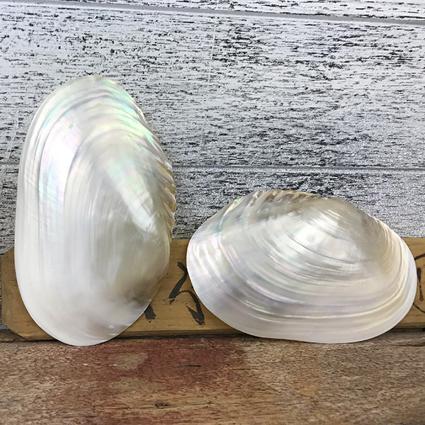 Pearled Giant Mussel shells