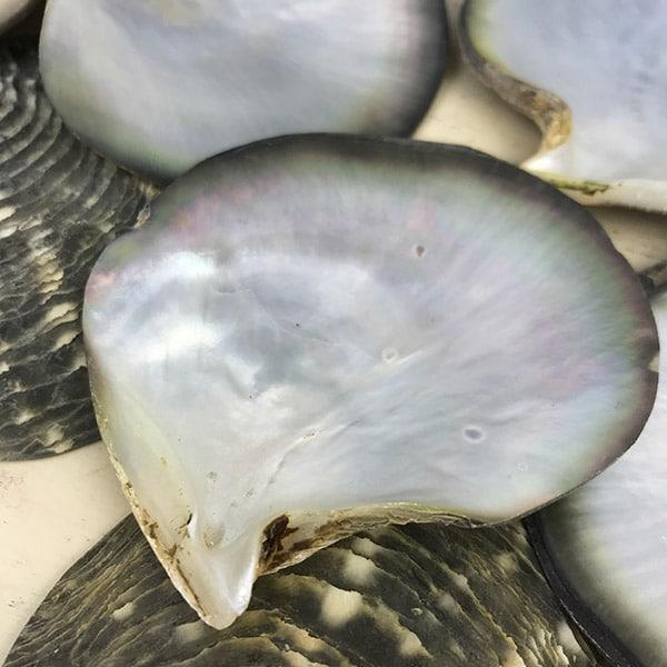 black-lip pearl oyster shells
