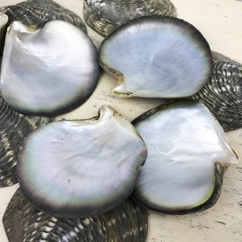 black-lip pearl oyster shells
