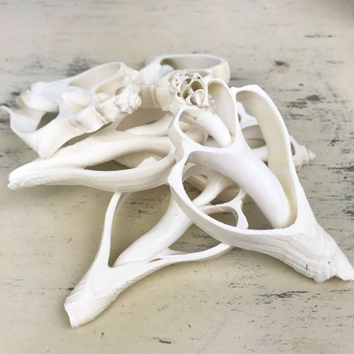 Hemifusus cochilidium white centre cut