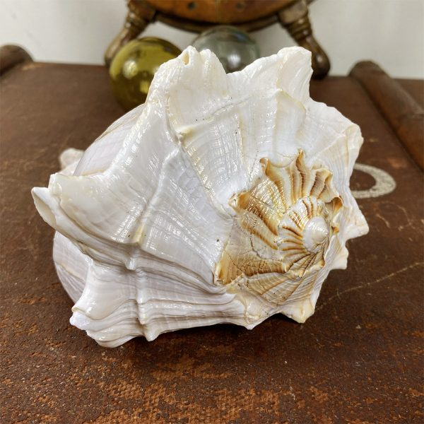Busycon Perversum (Large Whelk) Natural shell