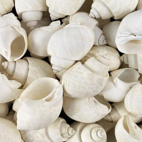 Babylonia Spirata White shells