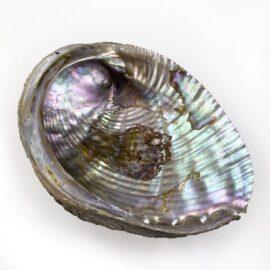 Haliotis Fulgens Natural shells