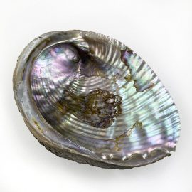 Haliotis Fulgens Natural shells