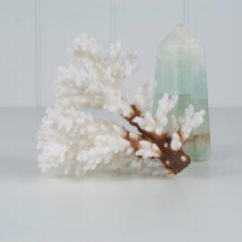 Pocillopora Coral Specimen CECPM2-6-5