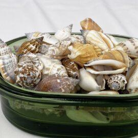 Strombus Urceus bulk shells