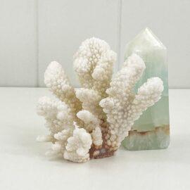 Pocillopora Coral Specimen